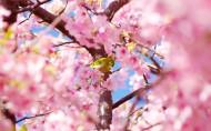 粉色的樱花图片(17张)