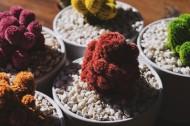 仙人掌盆栽图片(10张)