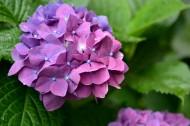 绣球花图片(10张)