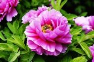 粉色牡丹花图片(6张)