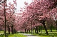 路边的樱花树图片(10张)