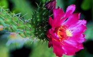 仙人掌花图片(12张)