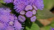 霍香蓟花卉图片(15张)
