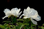 白色和粉色牡丹花图片(11张)