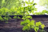 小清新绿色爬山虎图片(14张)