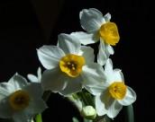 水仙花图片(12张)