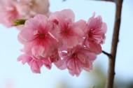唯美绽放的樱花图片(11张)