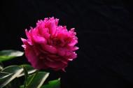 粉色芍药花图片(7张)