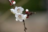 白色梅花图片(12张)