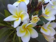 钝叶鸡蛋花图片(11张)