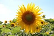 黄色的向日葵图片(12张)
