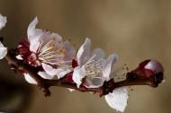 杏花图片(5张)