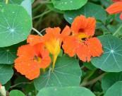 橙色旱金莲图片(13张)