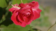 红色月季花图片(8张)