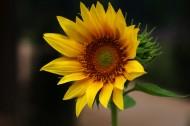 柔光拍摄向日葵图片(10张)