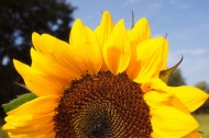 金色向日葵图片(14张)