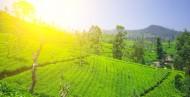 茶园景色图片(15张)
