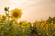 温暖向日葵图片(9张)