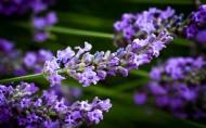 紫色薰衣草图片(10张)