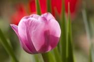 玫红色的郁金香图片(10张)