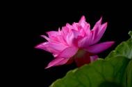 粉红色的荷花图片(6张)
