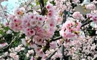 粉色樱花图片(18张)