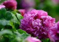 紫色牡丹花图片(8张)