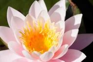 晨开午合的亮粉睡莲图片(15张)