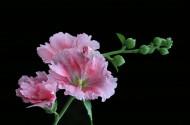 色彩浓淡相宜的蜀葵花卉图片(6张)