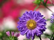 各种颜色的翠菊图片(18张)