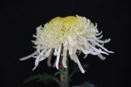 秋菊图片(7张)