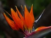 漂亮的天堂鸟花图片(13张)