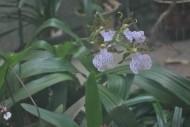 兜兰花朵图片(2张)