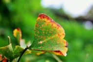 银杏叶图片(10张)