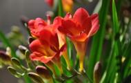 红色香雪兰图片(6张)