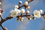 杏花图片(13张)