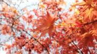 红色的树叶图片(10张)