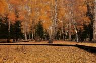 秋天的白桦林图片(14张)