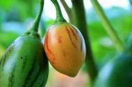树番茄图片(6张)