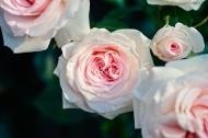 清新的粉玫瑰图片(10张)