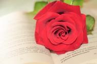 英语书上的红色玫瑰花图片(11张)