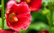 白色和红色的蜀葵图片(9张)