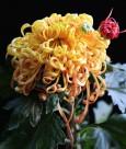千娇百媚的菊花图片(10张)