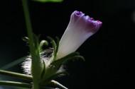 光影下的牵牛花图片(8张)