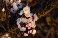 杏花图片(10张)