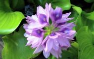 紫色水葫芦图片(8张)