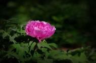 牡丹花图片(13张)