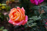 娇艳的玫瑰花图片(16张)