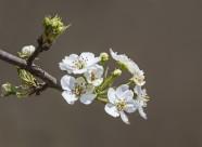 梨花图片(9张)