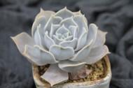 漂亮可爱的多肉植物图片(10张)